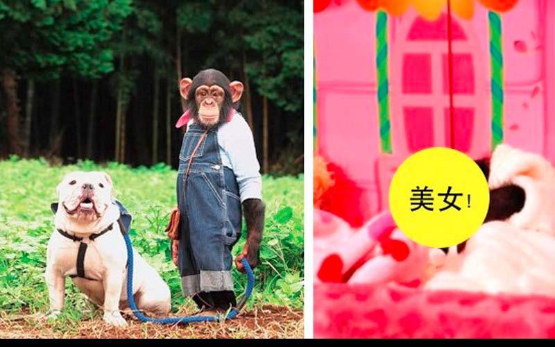 當年《狗狗猩猩大冒險》中超火的日本黑猩猩小龐已經做爸爸啦!傻憨的詹姆士卻......太可惜啦!  -