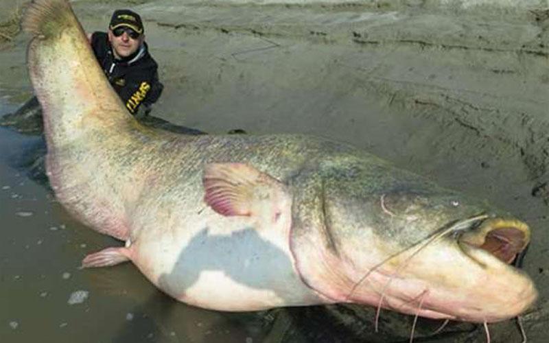 這頭200公斤的「百年鯰獸」死後遭人開膛破肚!眾人看到肚子裡的「東西」後全嚇壞了!它生前竟然做過……這些事!   -