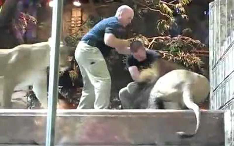 公獅子突然抓狂攻擊猛咬飼育員!這時一旁的母獅子跑過來.....她做的事讓在場所有人都不敢置信!