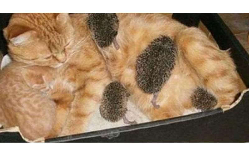 刺蝟寶寶把母貓當成媽媽,跟小貓爭寵搶喝奶,模樣真是療癒翻了!