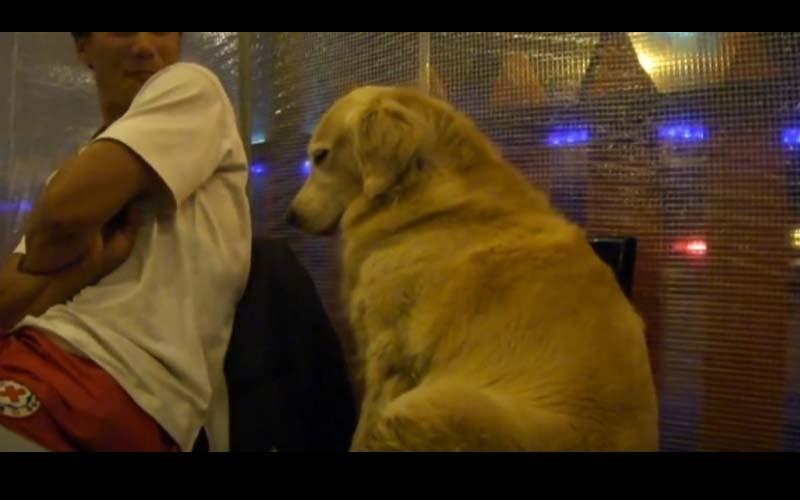可愛的黃金獵犬陪主人去燒烤店吃飯,竟當場打起瞌睡模樣真是可愛到炸啊!
