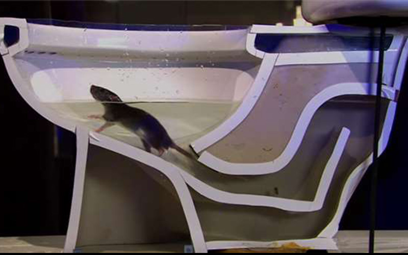 你知道嗎?老鼠是可以從馬桶爬進你家的! (圖+影)