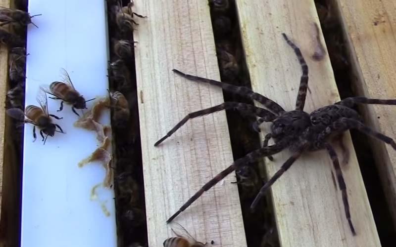 這隻狂妄的大蜘蛛以為闖巢就能飽餐一頓,結果沒想到..自己被吃的灰塵都不剩!!