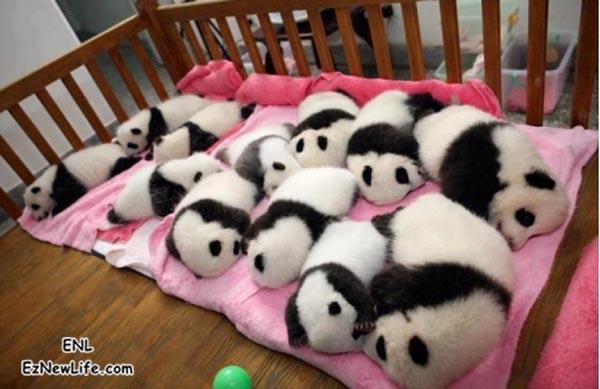 真可爱,  哪来这麼多只熊猫宝宝