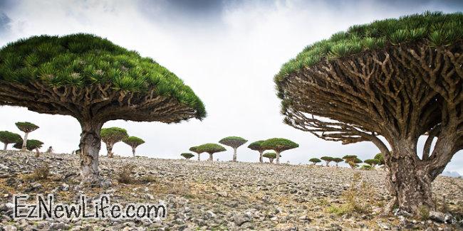 世界上最长寿的树是龙血树