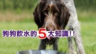 1.將水放在那並不夠 大部份飼主都是將水碗放在那裡,然後認為狗就會自動補充牠需要的量,不過,因為不是每隻狗都具備「適量飲水」的本能。換句話說,密切關注牠們的飲水量非常重要,因為除了太少的水會引發如腎結石、器官衰竭和尿道的問題,過量的水也會讓狗水中毒,而兩者在最嚴重的情況都可以導致死亡。另外,狗在患有胰腺炎與鉤端螺旋體病時通常不會喝太多水,但當牠們的膀胱受到感染,或者有其他的代謝問題時又會異常口渴,而這些都是你該花更多心思在水碗上的原因。 2.吃乾飼料需要更多水 依照經驗,狗每天需要的水量(盎司)相當於他們體重(磅)的一半到全部,譬如一隻健康的 65 磅( 1 公斤等於 2.2 磅)拉布拉多犬,每天就會需要 33 到 65 盎司( 1 盎司等於 30 cc )的飲水。然後,根據不同的溫度、食物與運動量,你的狗可能還得喝更多水,像是以乾狗糧為主食的狗,牠們可能就需要超過平均的量來彌補不足的水份(罐頭狗糧則有 70 到 80 % 是水)。要檢查狗是否喝足夠的水並不困難,除了鼻子和嘴的濕潤程度,你還可以輕拉牠們在脖子上方的皮膚,在正常的情況下那很快就會恢復,而不是慢慢地、甚至是過了一晚才落回原位。 3.注意愛玩水的狗 要是你的狗經常喝不到足夠的水,那麼當牠從你給的碗中喝水時,就一定得稱讚牠,同時在牠所有常去的地方放置水碗,甚至可以考慮在裡面加點雞肉和高湯,或者是很乾脆地放棄乾狗糧。至於飲水過量則通常是發生在喜歡於湖邊、池塘或游泳池玩一整天的狗,他們是在無意間吞下太多水,需要由你嚴格地監督休息時間,或者,先別提供會讓牠們在水中張開嘴巴的玩具。 4.最好的水在碗中 雖然許多狗喜歡並非來自牠們碗中的水,在多數的情況下那也沒有傷害,不過偶爾還是會讓牠們生病。譬如說,家庭廁所和廚房都可能殘留著清潔劑,而湖水與河水的最大危害則是足以引起嚴重腹瀉與腸道出血的原生動物,像是賈第蟲和隱孢子蟲。當然,狗也有可能喝到包含化學物品如殺蟲劑的河水。 5.喝水,而且是乾淨的水 對所有的飼主提醒,「乾淨的水」才是狗真正需要的東西,其他人類喝的東西都可能對牠們造成傷害。舉例來說,咖啡和茶中的咖啡因其實是種對心臟及神經系統有毒的物質,足以導致嘔吐或者腹瀉;酒精飲料可以引起中毒、昏迷和死亡;木糖醇(人工甜味劑)會讓肝功能衰竭,而大量的乳製品也有導致腹瀉的可能。...