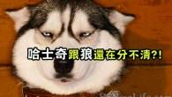 哈士奇與狼,確實很像,只是,哈士奇萌萌的! 各位朋友你認得出來嗎?哈士奇擁有一半狼的血統,所以常常會被誤認為是狼! 不過小編很愛哈士奇,雖然他眼神有時看起來很兇,但是個性卻是溫和可愛的!!超級喜歡~ 想必哈士奇大家都不陌生吧,是狗狗中著名的「二貨」,要知道二也是一種生活,二也是一種生活態度啊!!! 經常聽到身邊的人說哈士奇長得像狼,仔細一看還真有點像,但是如果狼聽到人們這麼說,估計它會說:「咳。你們這是在侮辱我的狼格,後果很嚴重!!」   現在,小編帶你認清狼與哈士奇的區別~ ↓ ↓  狼的標誌性表情是這樣的 ▼  哈士奇的標誌性表情是這樣的▼  狼趴下來休息時是這樣的▼  哈士奇趴下來休息時是這樣的▼  兩隻狼一起休息時是這樣的▼  兩隻哈一起休息時是這樣的▼  一群狼爭食是這樣的▼  一群哈爭食是這樣的▼  狼在暗處觀察你時是這樣的▼  小哈自以為在暗處觀察你時是這樣的▼...