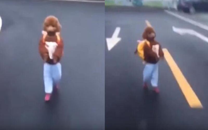 萌翻了!這隻紅貴賓「跟人類一樣走路」背著書包上學去的模樣真是可愛極了!